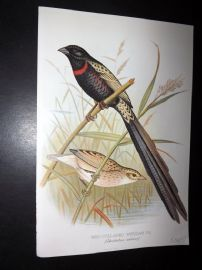 Frohawk & Butler 1899 Antique Bird Print. Red-Collared Whydah